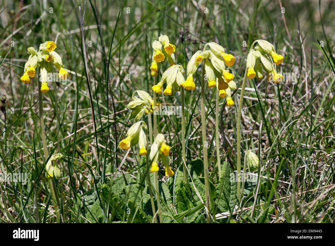 Cowslips growing on the chalk grassland of Denbies Hillside. Ranmore Common, Surrey, England. - Stock Image
