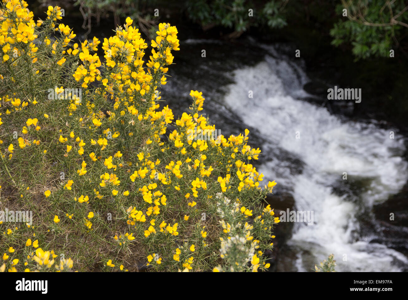 Gorse bushes, blooming in the valley of the River Avon, South Brent, South Devon - Stock Image