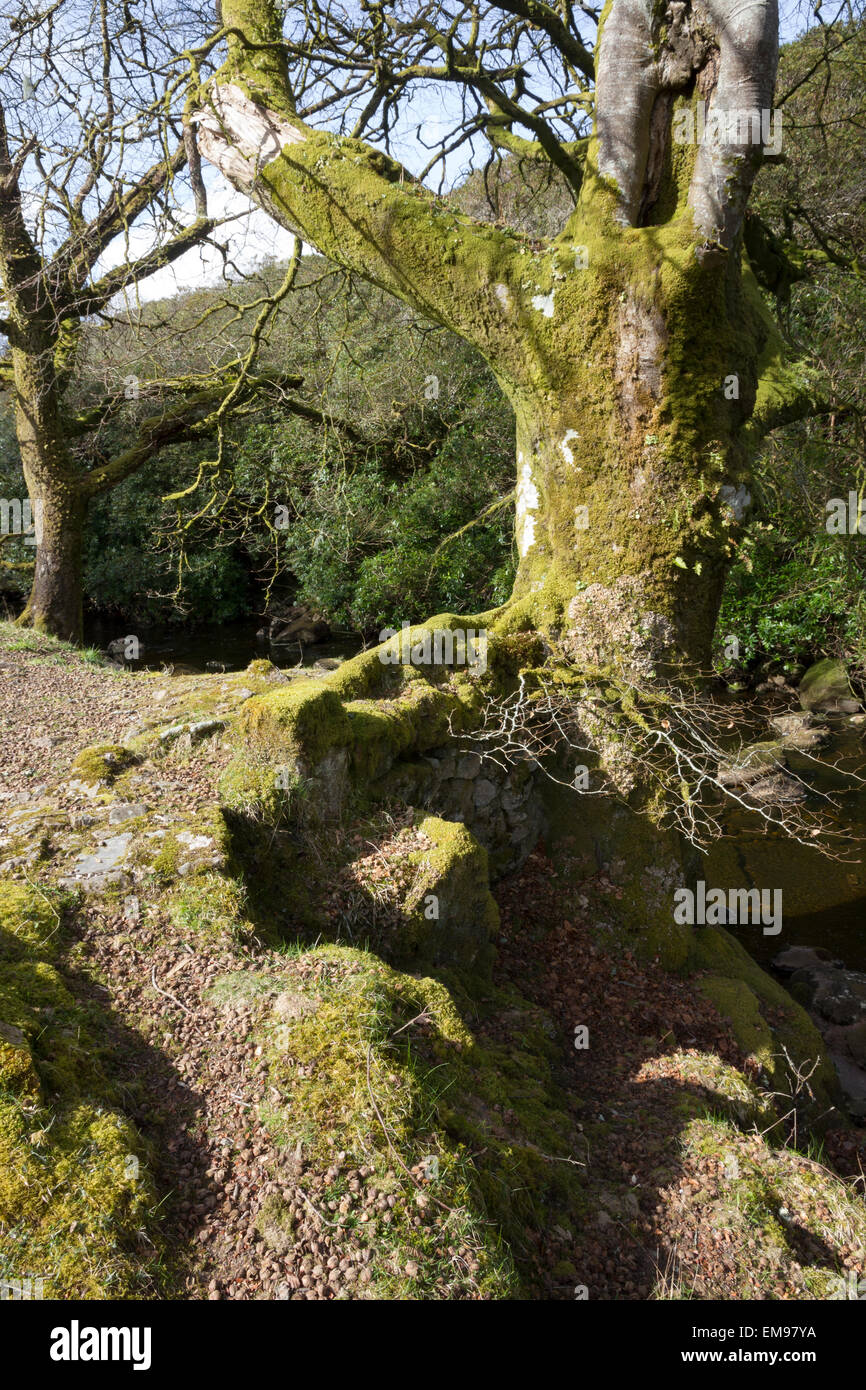 Mossy trees, Valley of the River Avon, South Brent, South Devon - Stock Image