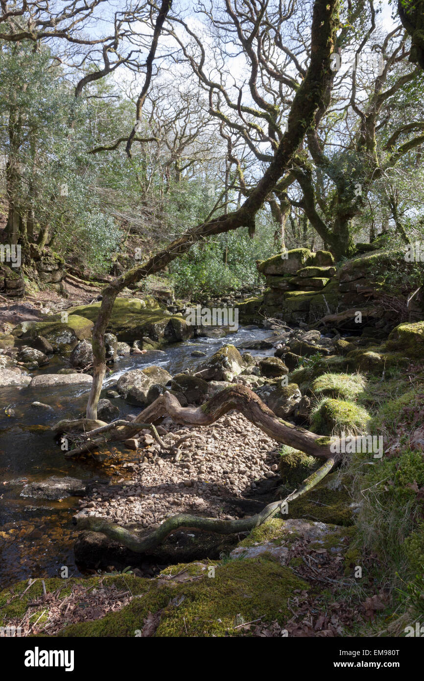 Mossy stones and branches, River Avon, South Brent, South Devonspring - Stock Image