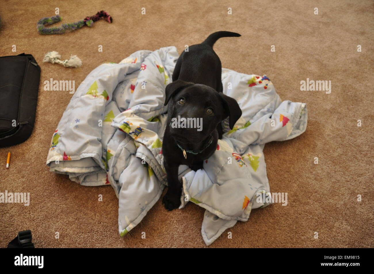 puppy playing tug war stock photos puppy playing tug war. Black Bedroom Furniture Sets. Home Design Ideas