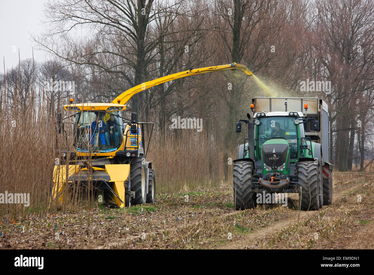 Fast rotation forestry / SRF, single-pass cut-and-chip harvester harvesting fast-growing trees and turning wood - Stock Image