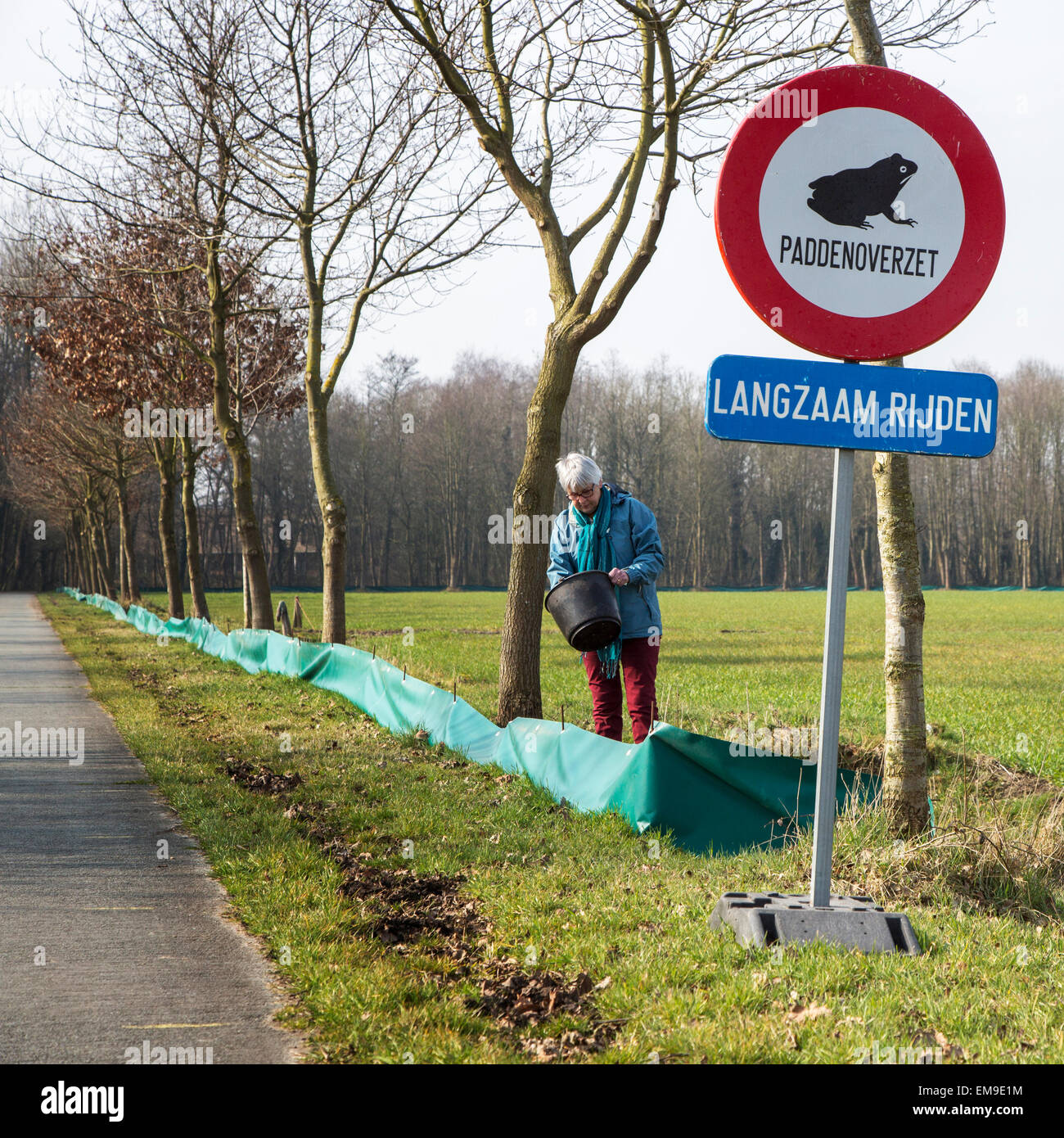 Volunteer checking barrier with buckets for migrating amphibians / toads crossing the road during annual migration - Stock Image