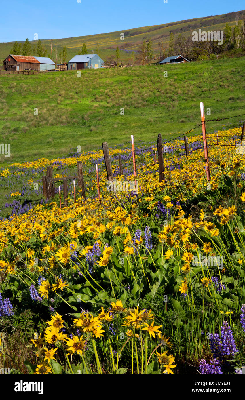 WASHINGTON - Fence in meadow covered with balsamroot and lupine in the Dalles Mountain Ranch area of Columbia Hills - Stock Image