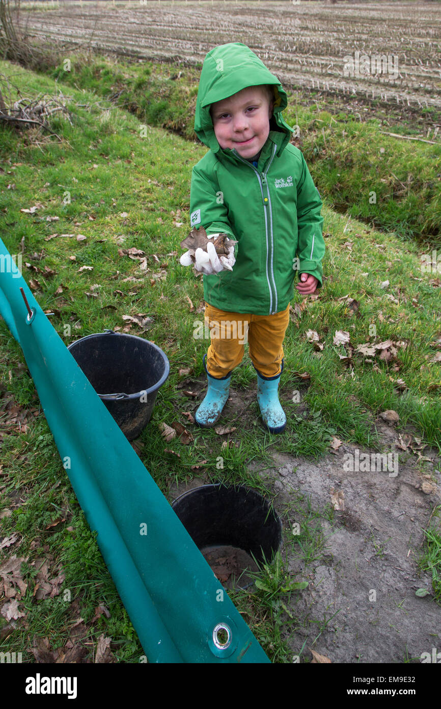 Child checking barrier with buckets for migrating amphibians / toads crossing the road during annual migration in - Stock Image