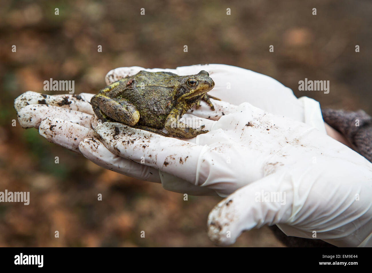 Person holding European common brown frog (Rana temporaria) in gloved hand - Stock Image