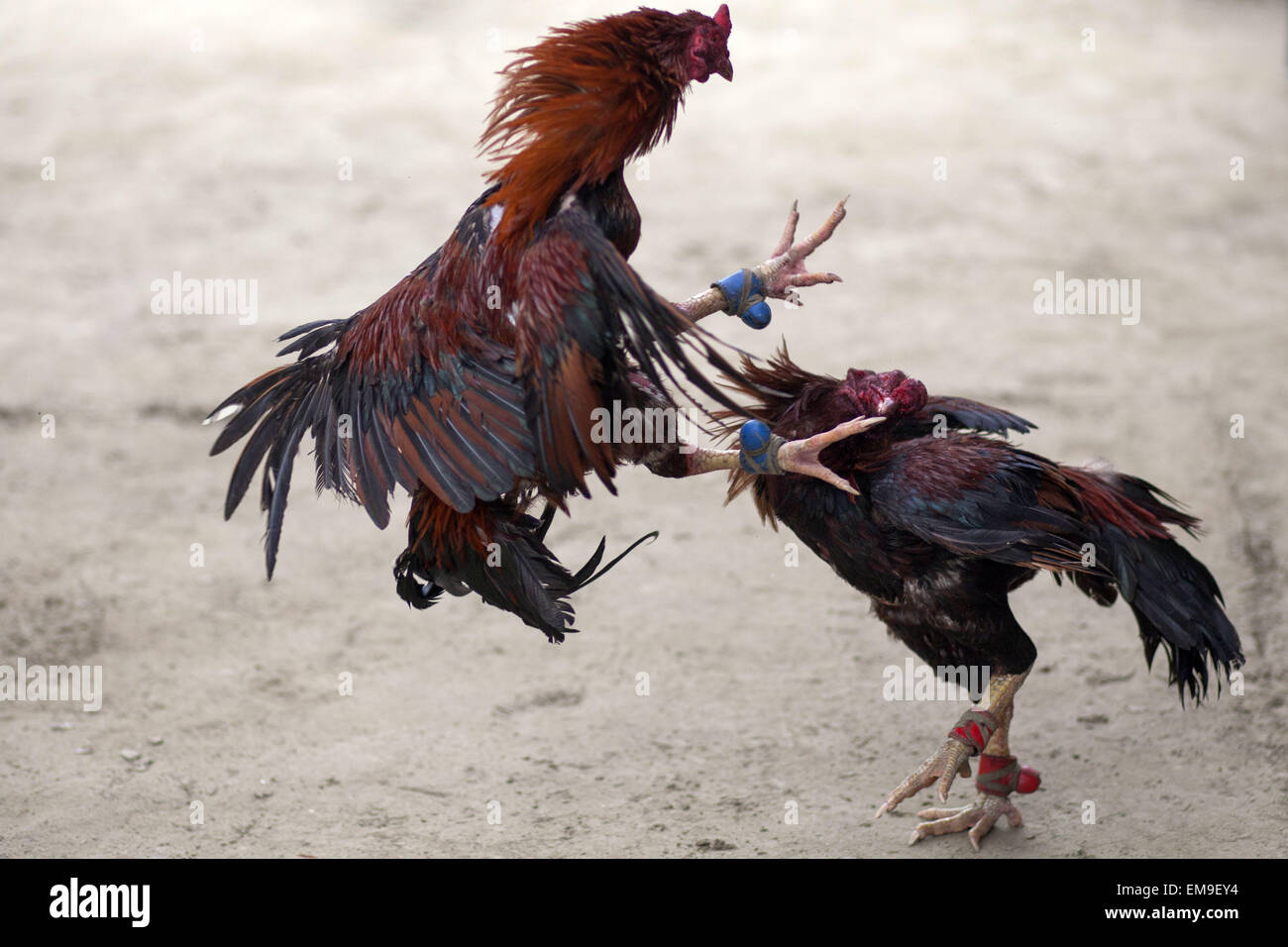 Cock fight two