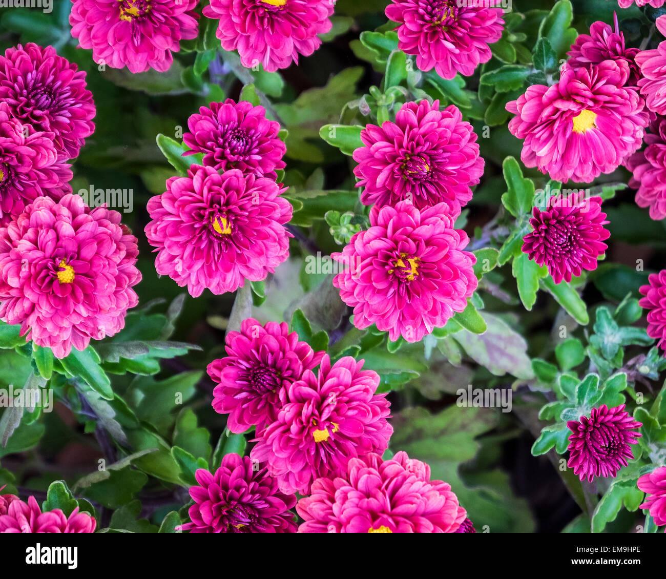 Purple Chrysanthemums, Asteraceae, blooming in an autumn garden. Oklahoma, USA. - Stock Image