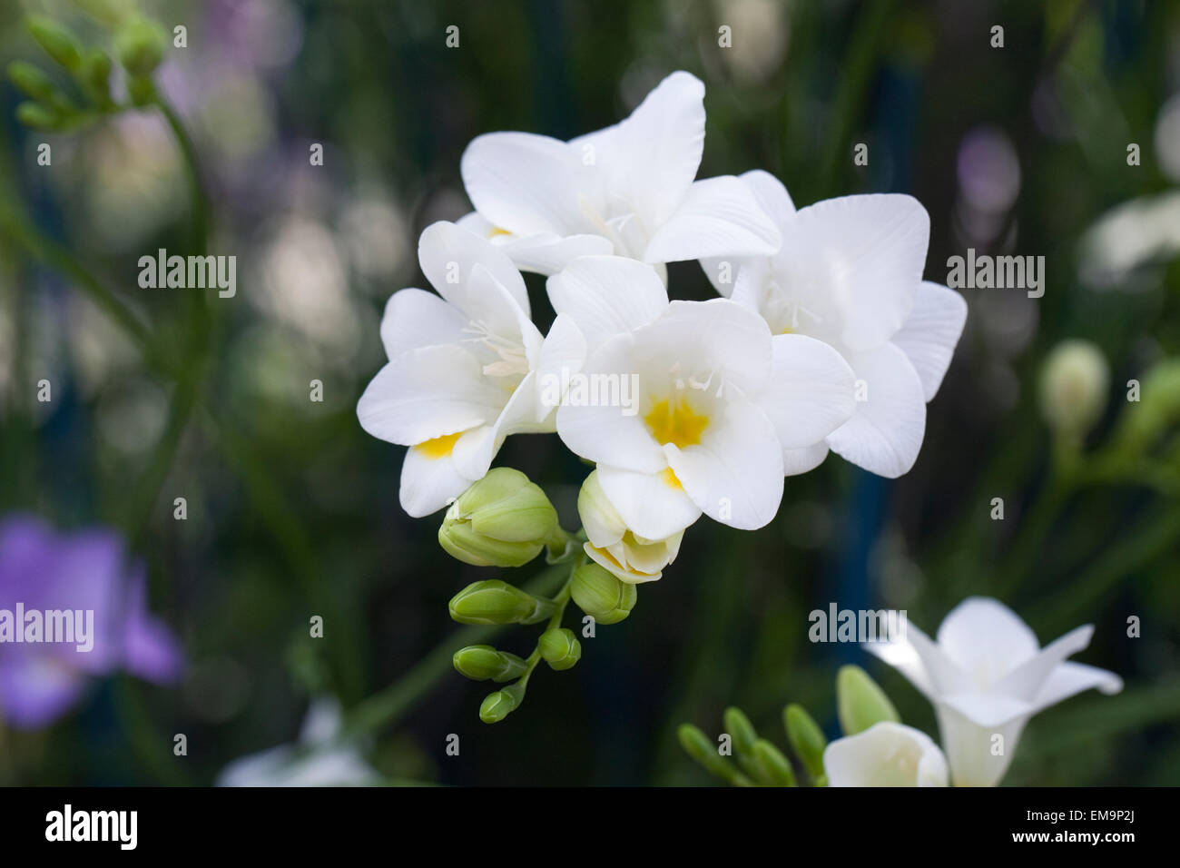 White Freesia Flower Growing In A Protected Environment Stock Photo