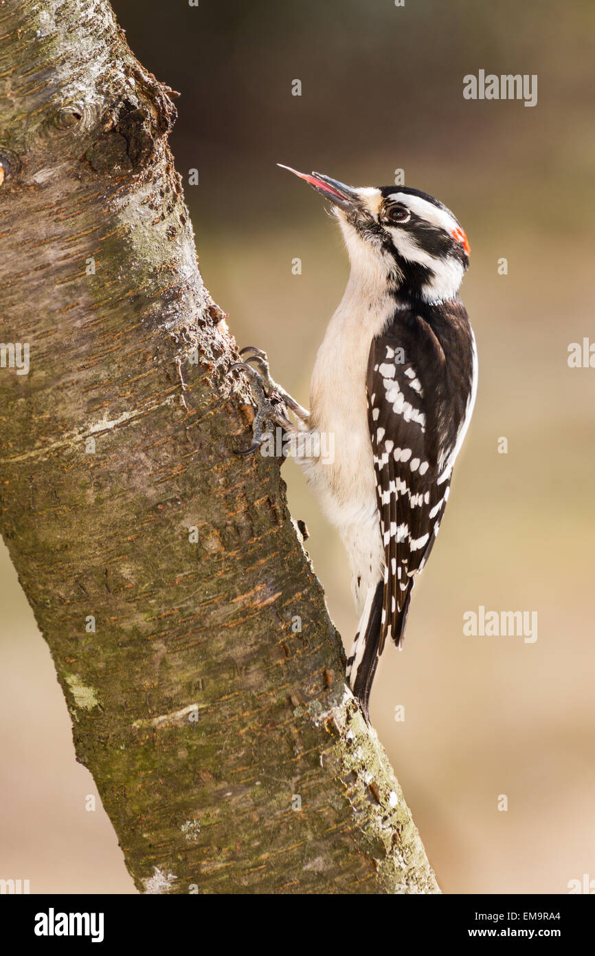 A downy woodpecker showing his long barbed tongue.  His tongue is used for pulling insects out from trees. - Stock Image