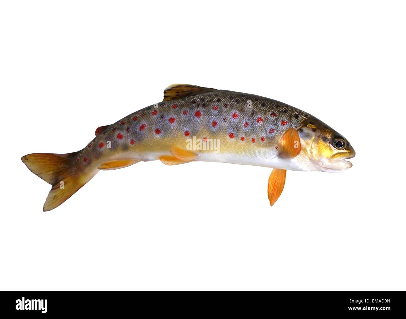 fresh stream trout with bait on white background Stock Photo