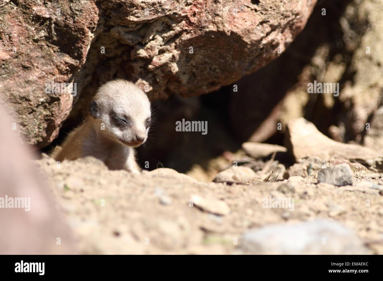 Baby Meerkat at a UK zoo. - Stock Image