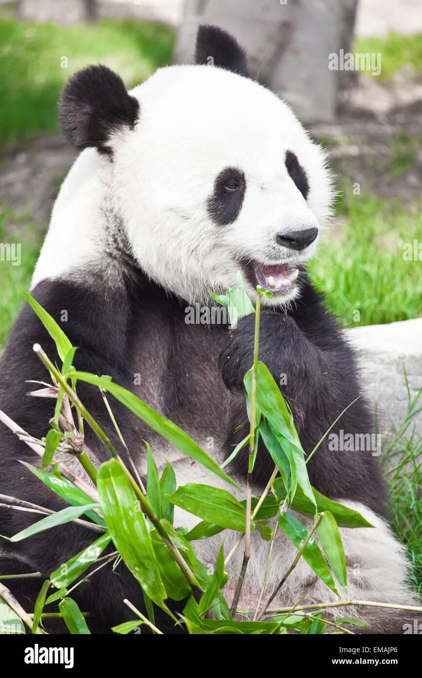 Feeding time. Giant panda eating bamboo leaf - Stock Image