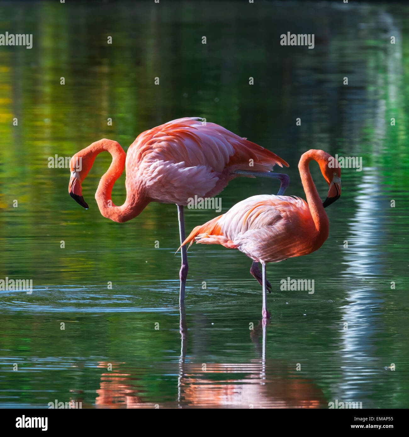 Two pink flamingos stand in the water with reflections. Stylized square photo, with colorful tonal correction filter - Stock Image