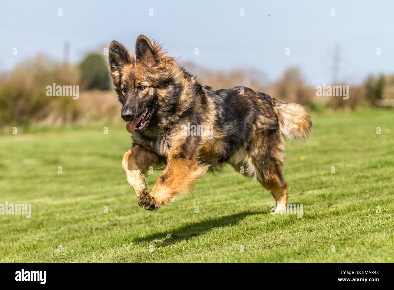 German Shepherd Dog running bouncing across grass. - Stock Image