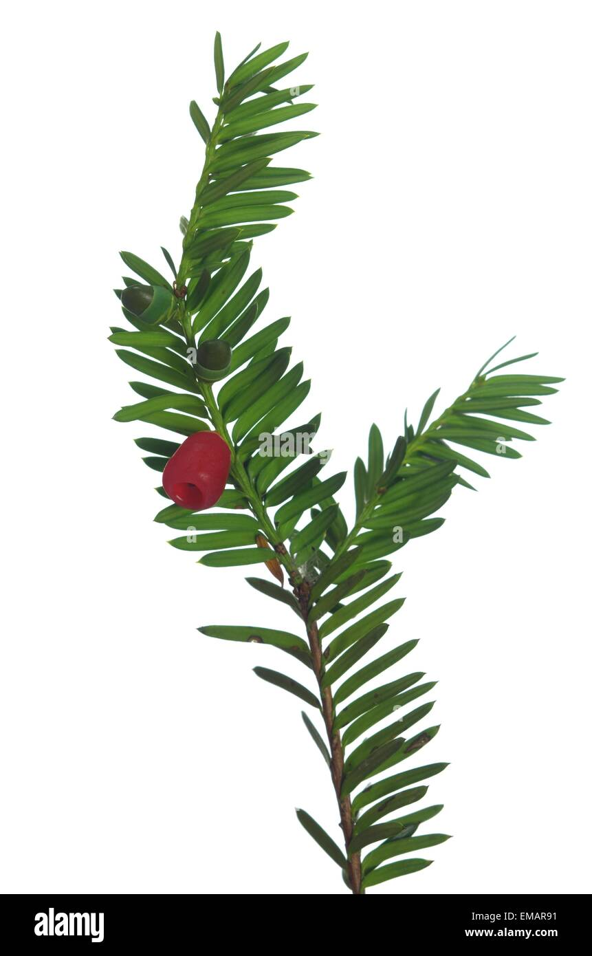yew twig with fruits on white background - Stock Image