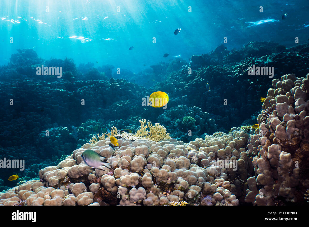 Golden butterflyfish (Chaetodon semilarvatus) over coral reef with shafts of sunlight.  Egypt, Red Sea. - Stock Image