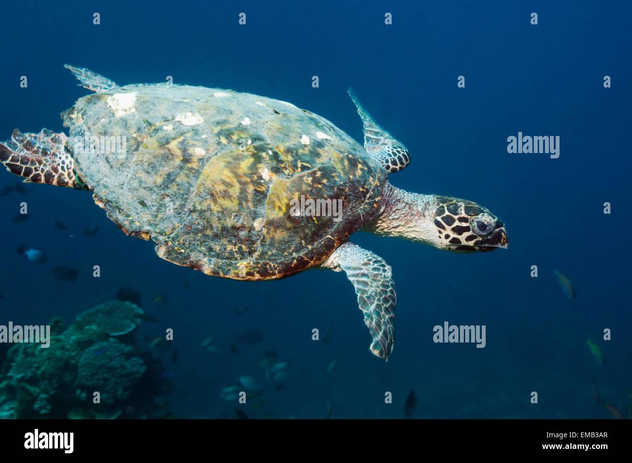 Hawksbill turtle (Eretmochelys imbricata) swimming over coral reef.  Rinca, Komodo National Park, Indonesia. Stock Photo
