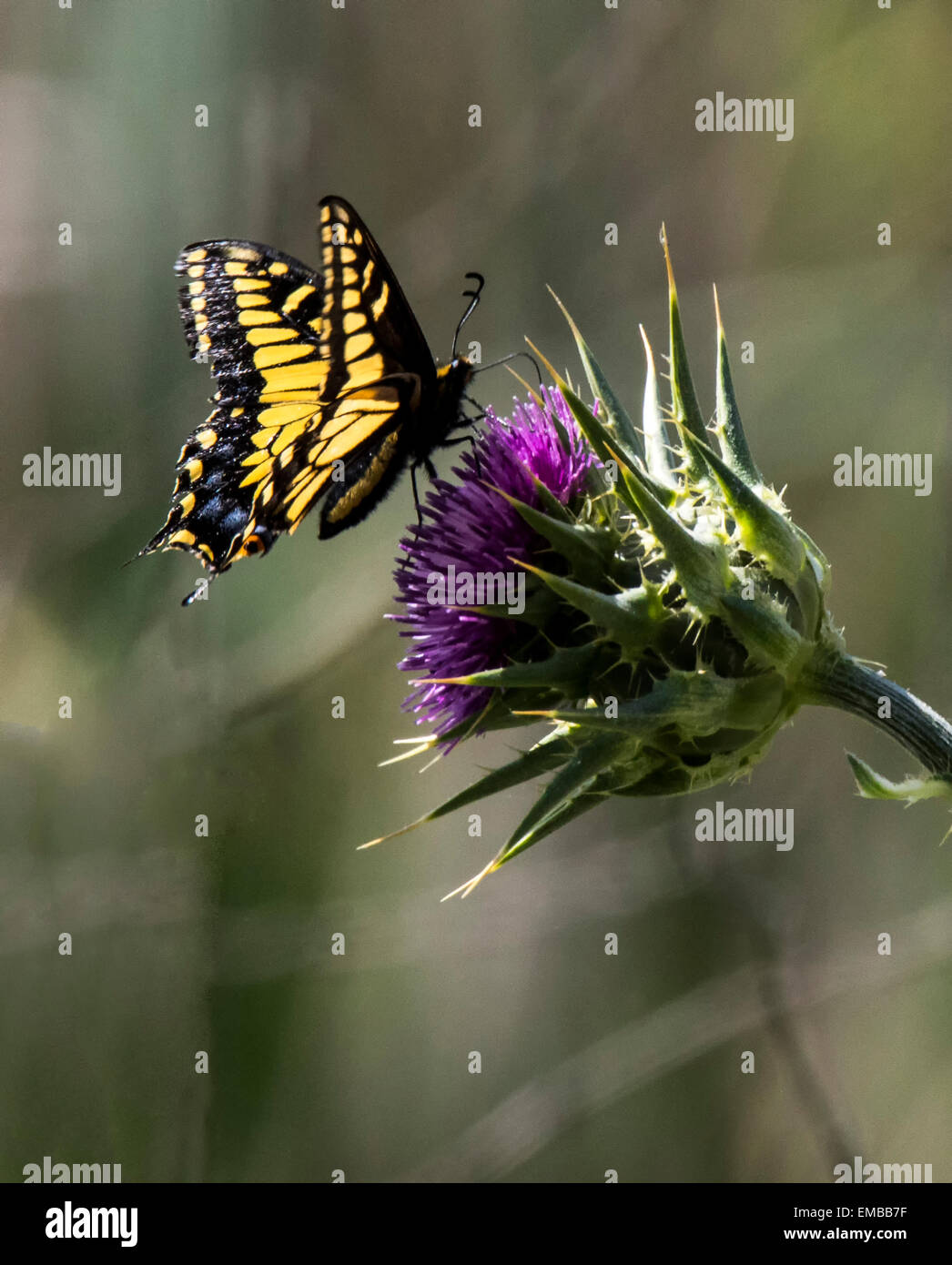 Swallowtail butterfly feeding on nectar from Thistle - Stock Image