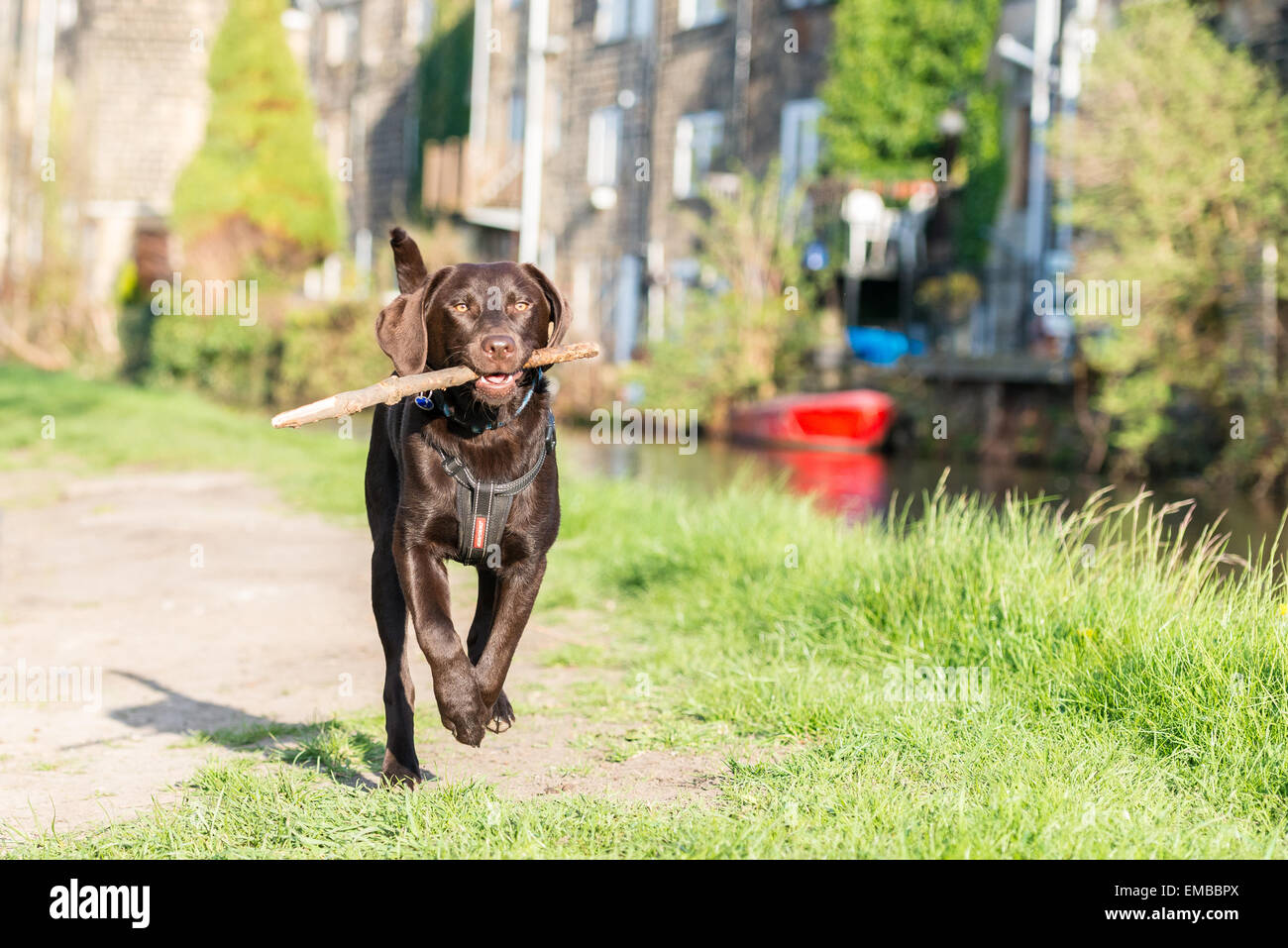 Chocolate Labrador running down a canal tow path with a stick in his mouth in Rodley, Leeds, West Yorkshire - Stock Image