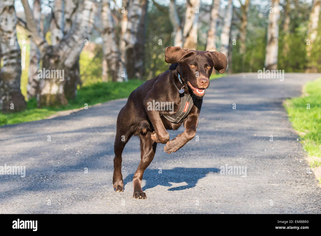 Chocolate Labrador running down a canal tow path in Rodley, Leeds, West Yorkshire - Stock Image