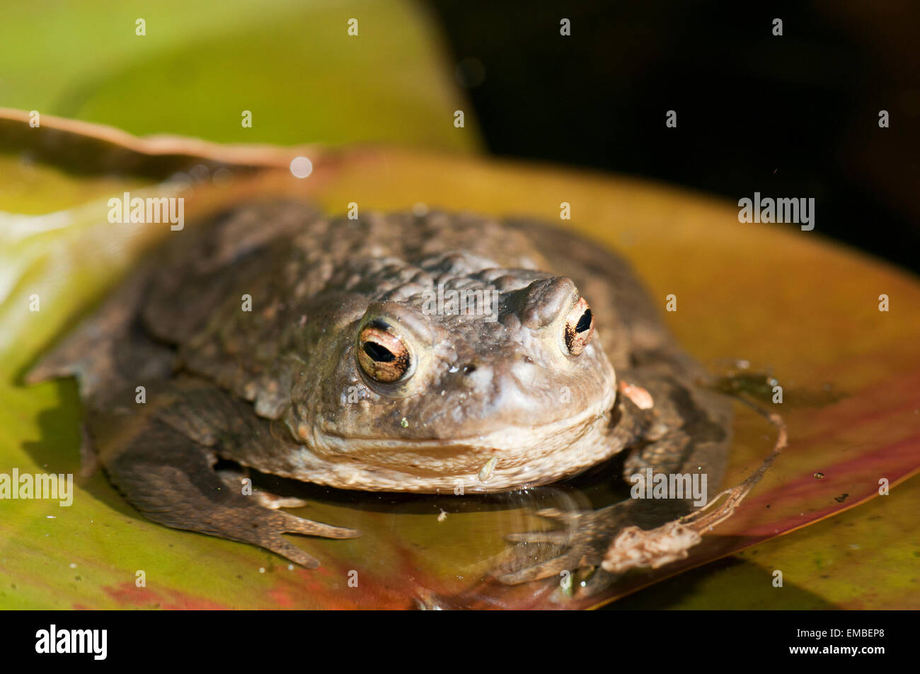 Common Toad (Bufo bufo) in the pond during the spawning period Stock Photo