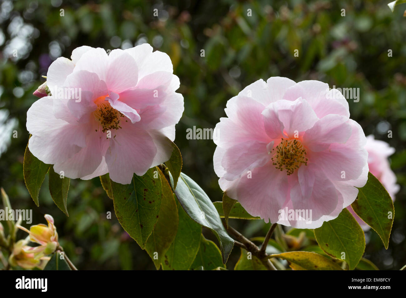 Large pink spring flowers of Camellia reticulata x saluenensis 'Salutation' - Stock Image