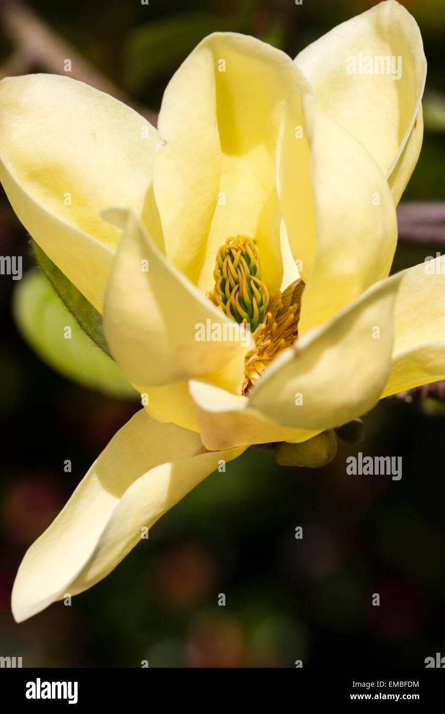 Yellow flowering magnolias stock photos yellow flowering magnolias close up of one of the best yellow flowering magnolias the small tree magnolia mightylinksfo