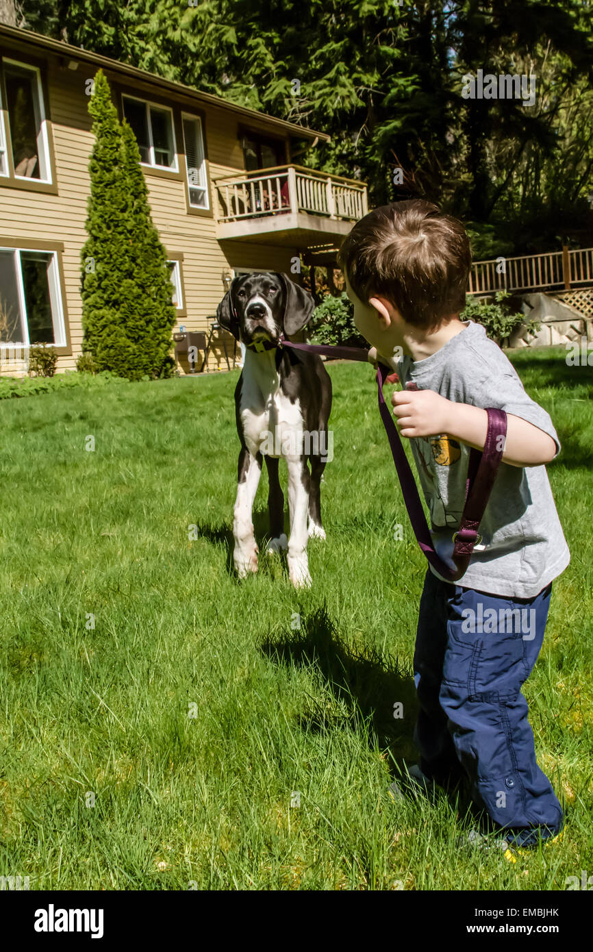 Three year old boy having a tug-of-war as he attempts to take his six month old Great Dane puppy, Athena, for a - Stock Image