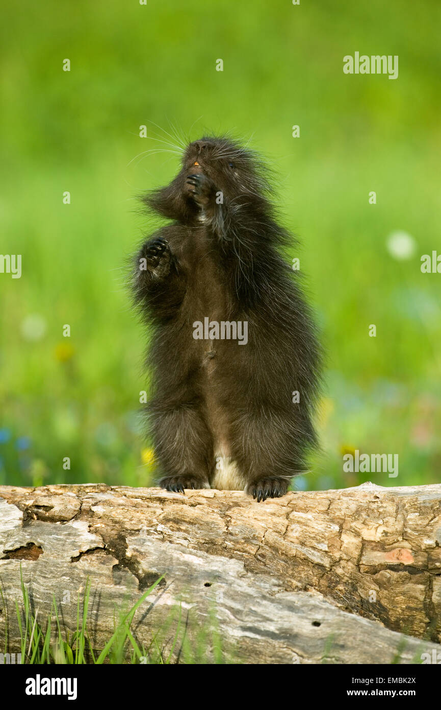 Juvenile Common Porcupine standing on log in meadow looking up Stock Photo