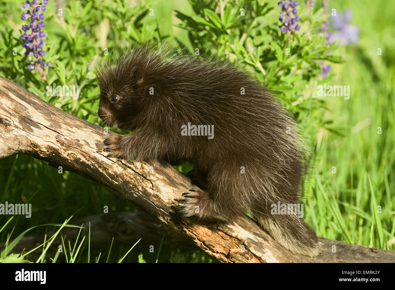 Baby Common Porcupine (Erethizon dorsatum) climbing on a log in the meadow filled with wildflowers. Stock Photo