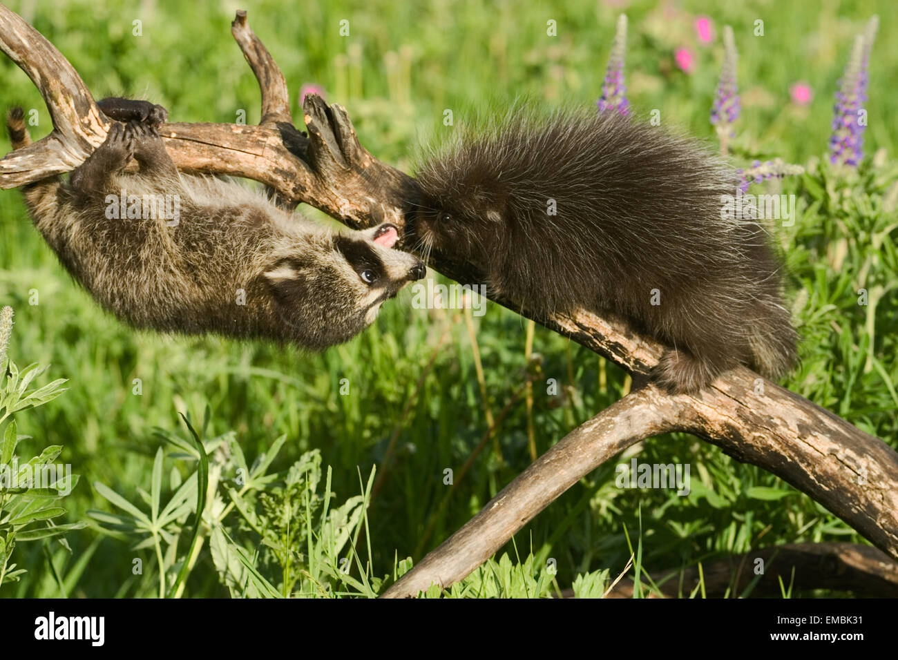 Young Common Porcupine (Erethizon dorsatum) meeting a young Raccoon (Procyon lotor) on a log in the meadow. - Stock Image