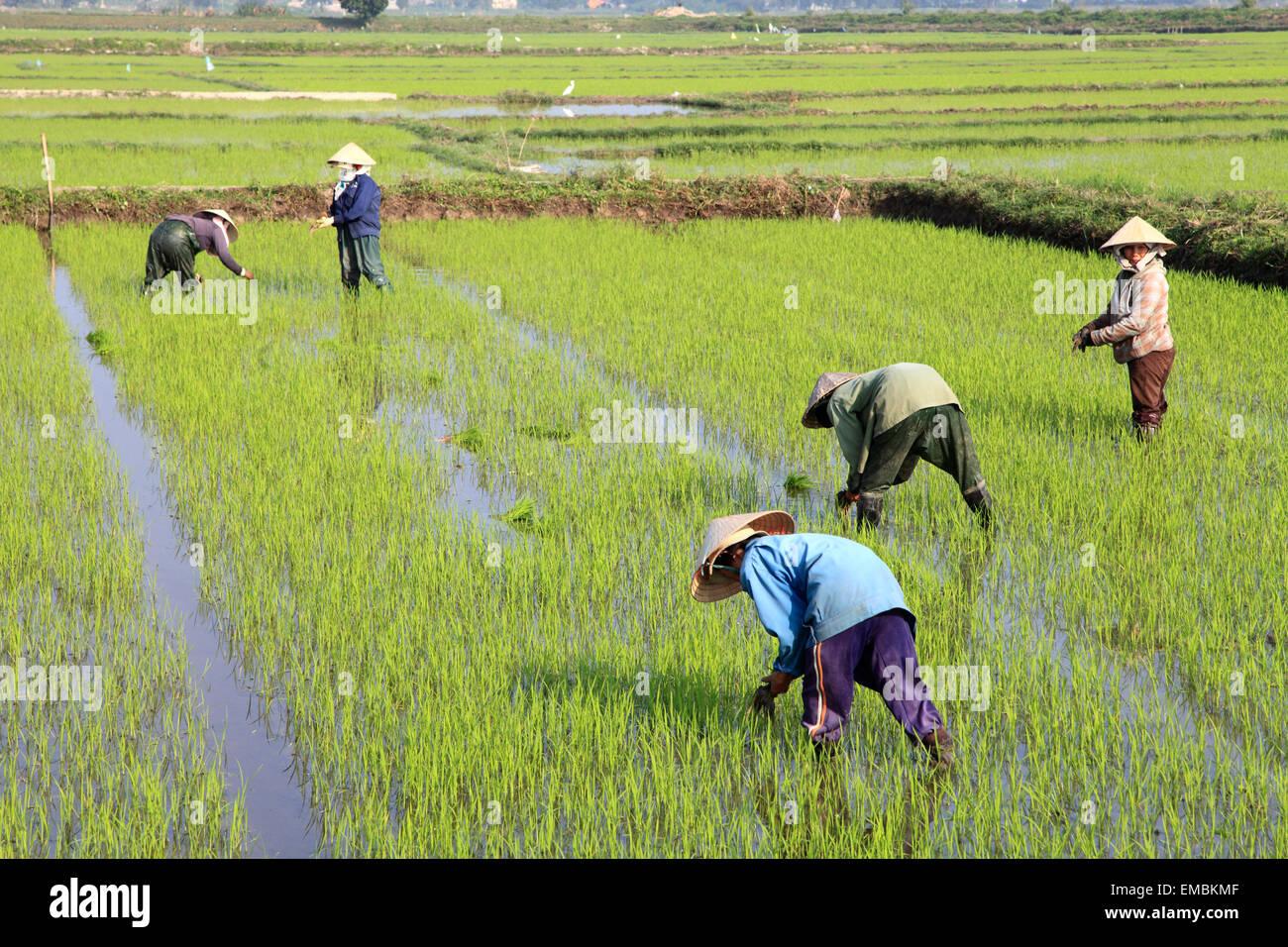 Vietnam, Hoi An, rice field, farmers working, - Stock Image