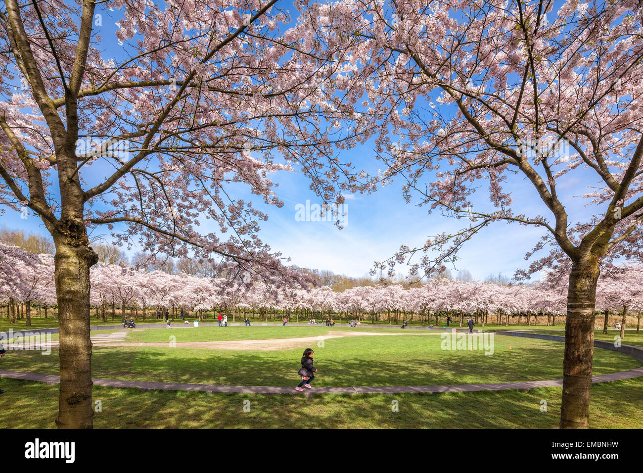 Amsterdam Amsterdamse Bos Bloesempark Cherry Blossom Park. A little Asian girl is running underneath blossoms in - Stock Image