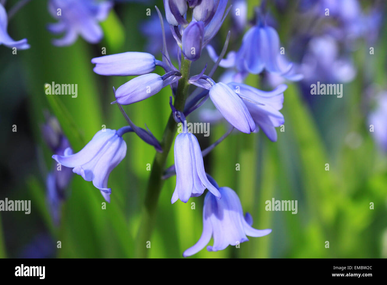 Close-up of a Bluebell flowerspike with soft green background Stock Photo
