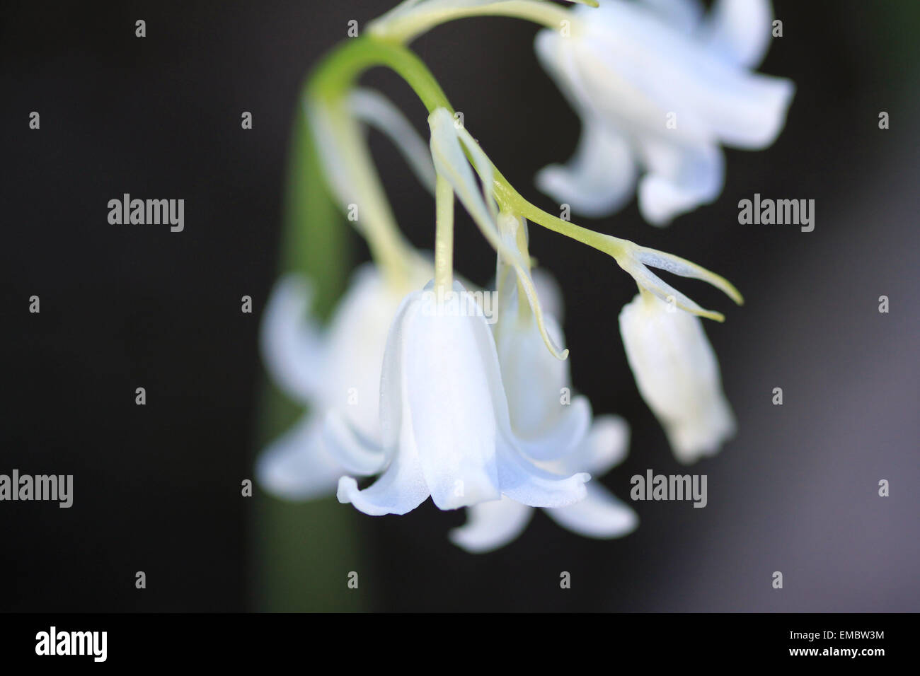 Closeup of a white bluebell flowerspike Stock Photo