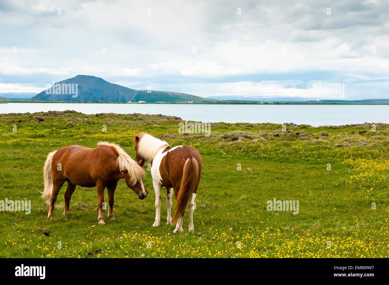 icelandic horses at lake Mytavn, North Iceland, Iceland - Stock Image