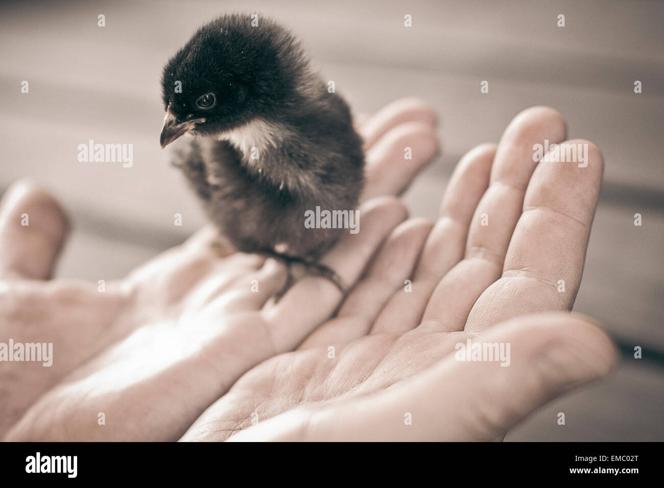 Young chicken on man's hands - Stock Image