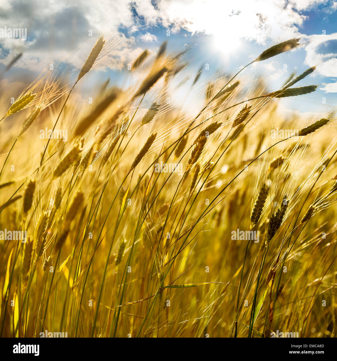 backdrop of ripening ears of yellow wheat field on the sunset cloudy orange sky background Copy space of the setting - Stock Image