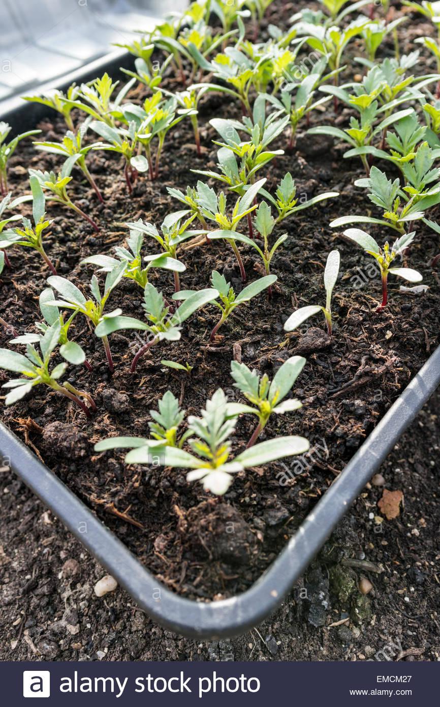 Tray Of Marigold Seedlings Stock Photo 81413759 Alamy