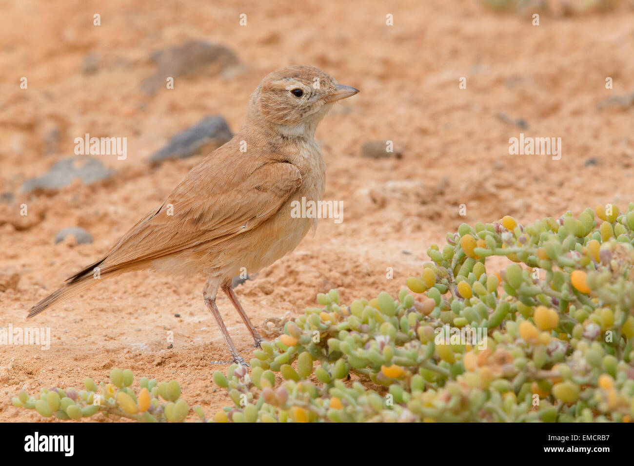 Bar-tailed Lark - Stock Image