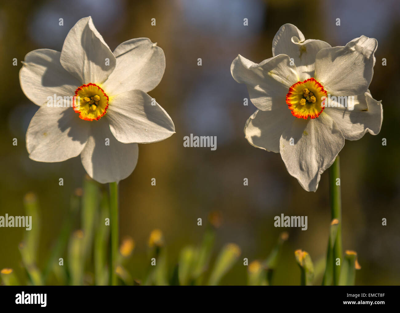 The ageing process - Two daffodils in different stages - Stock Image