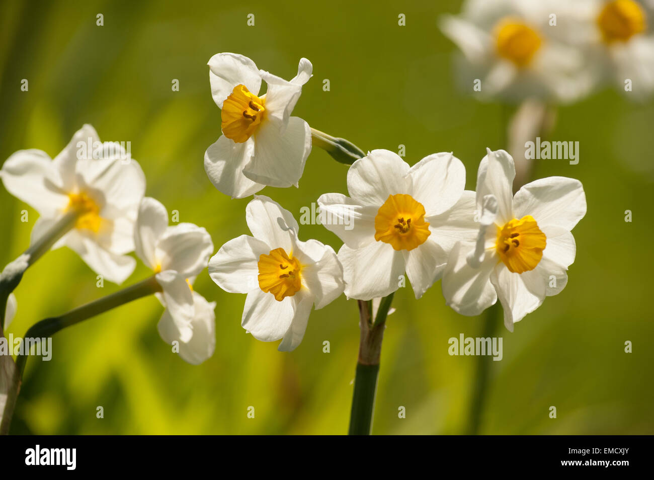 Small Yellow Cup Like Flowers Stock Photos Small Yellow Cup Like