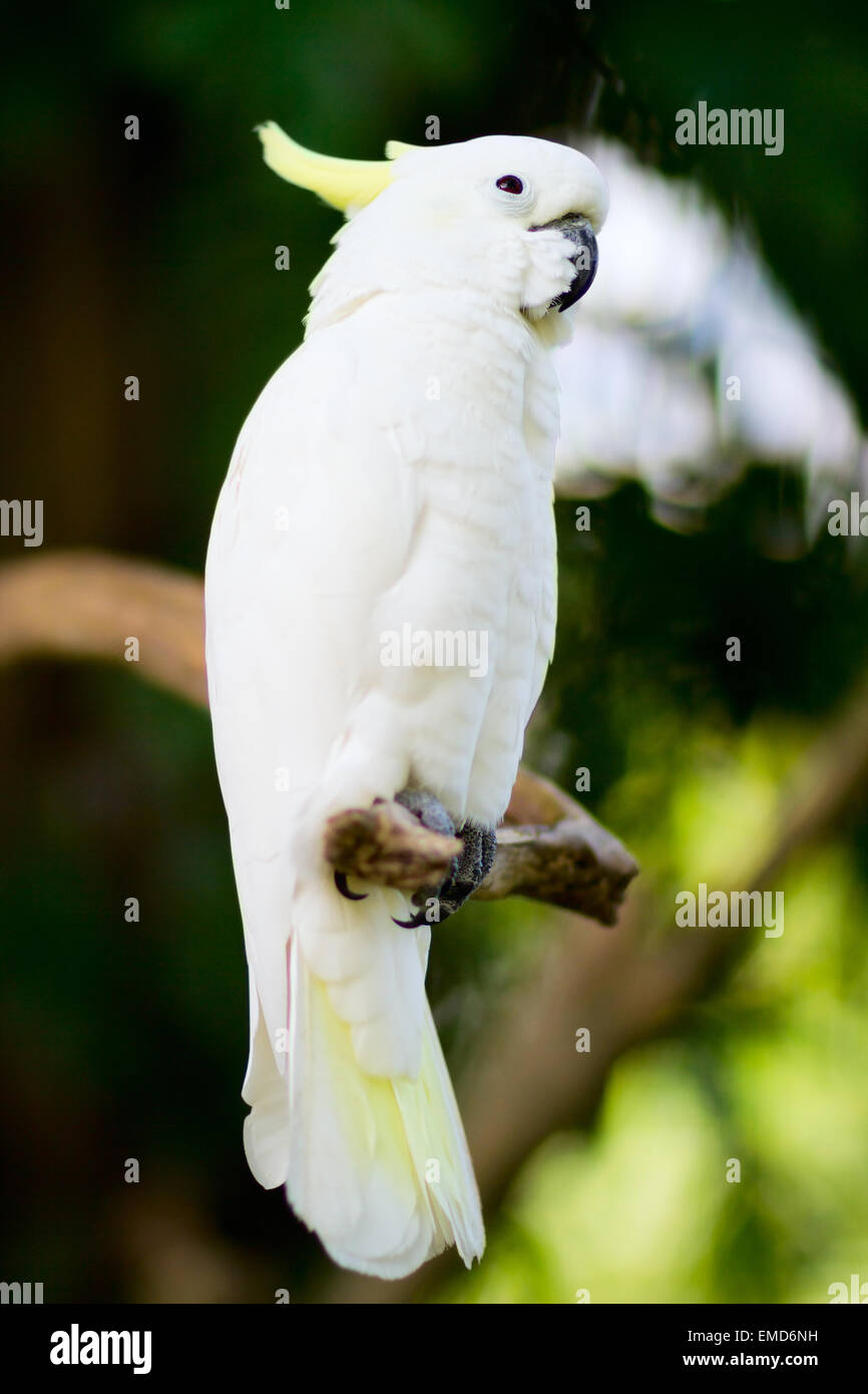 White cockatoo parrot - Stock Image