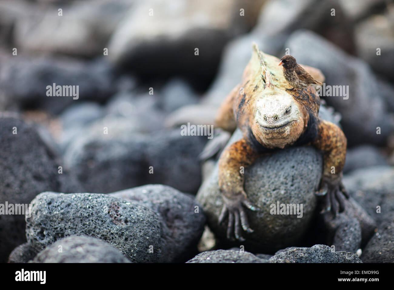 Marine iguana and Galapagos finch - Stock Image