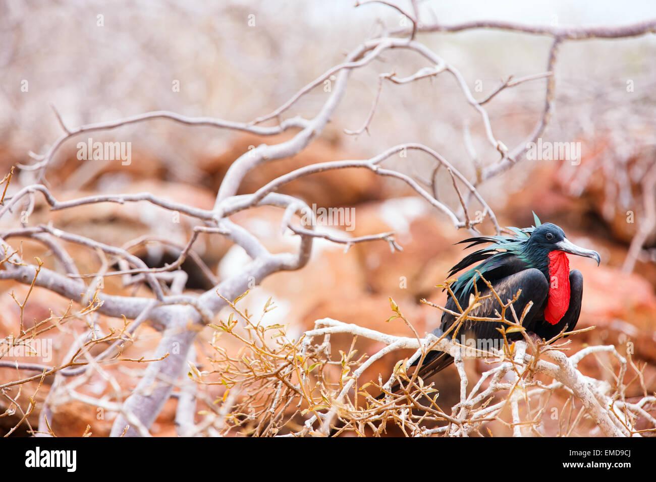 Male magnificent frigatebird Stock Photo