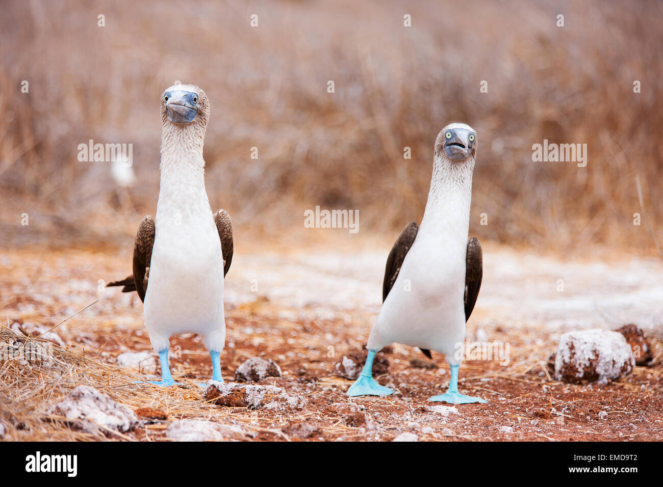 Blue footed booby mating dance - Stock Image