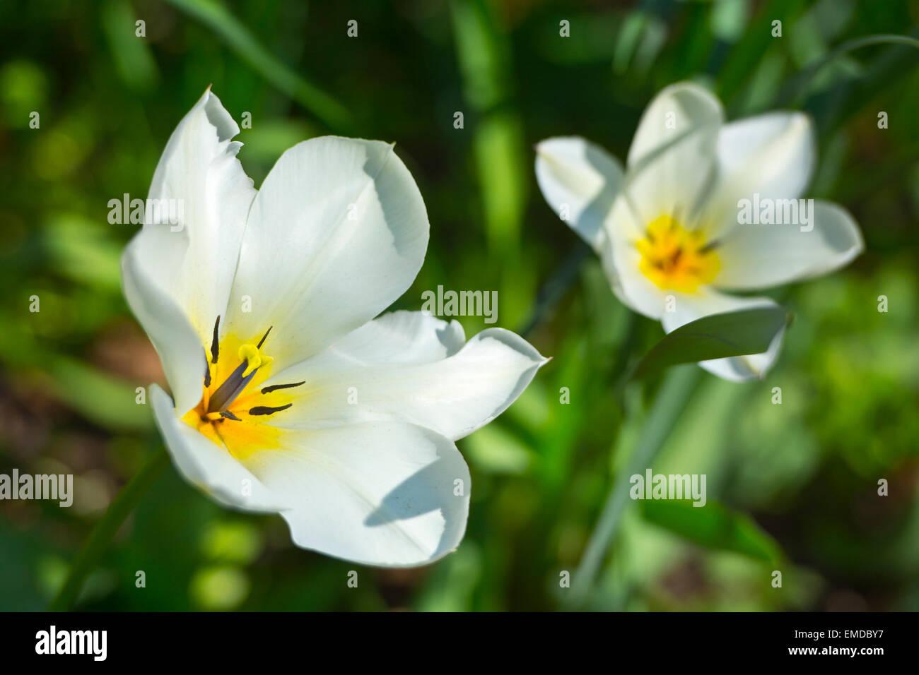 Fully open white tulip flower stock photo 81429355 alamy fully open white tulip flower mightylinksfo