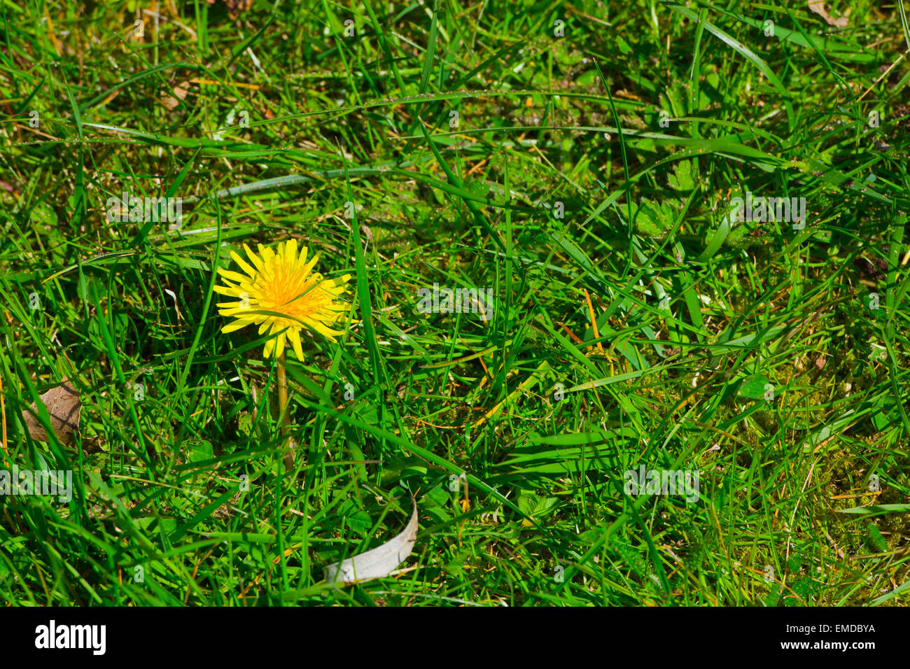 yellow dandelion flower in lawn - Stock Image