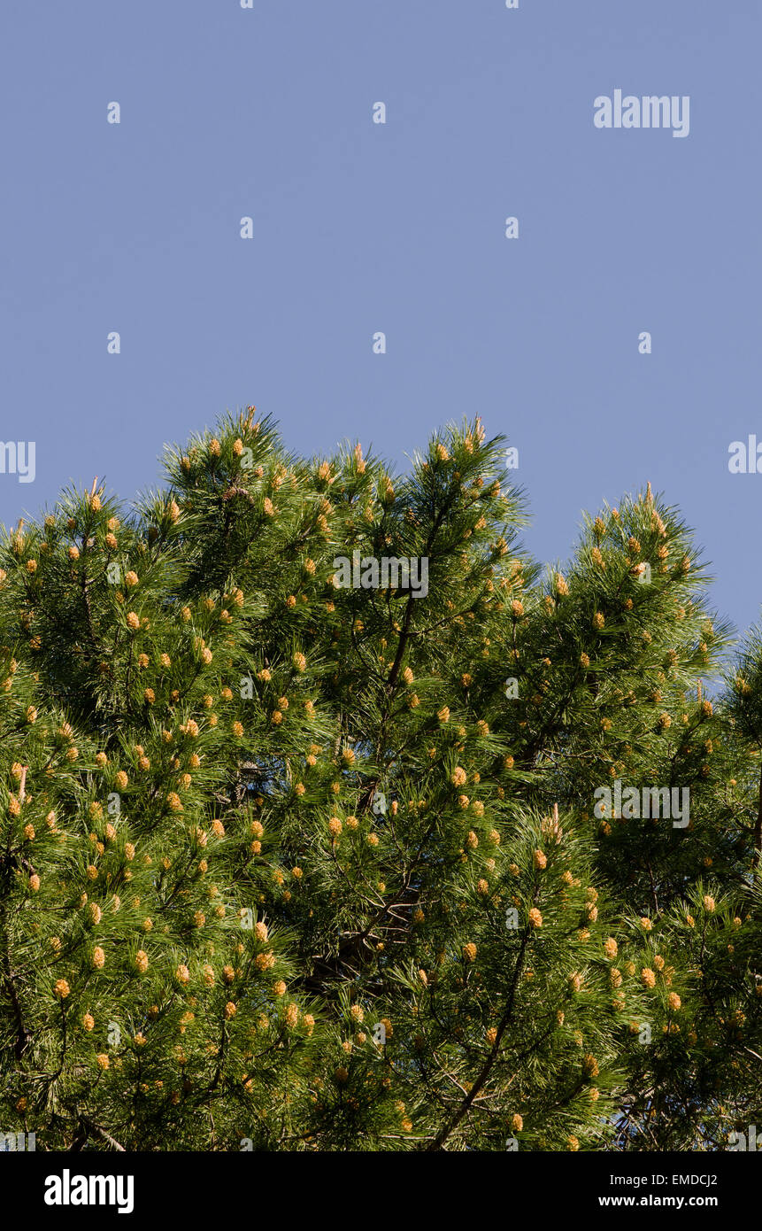 Aleppo Pine, Pinus halepensis, flowering in the mountains, blue sky, Andalusia,  Spain. - Stock Image